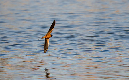 image of Barn Swallow flying over a pond